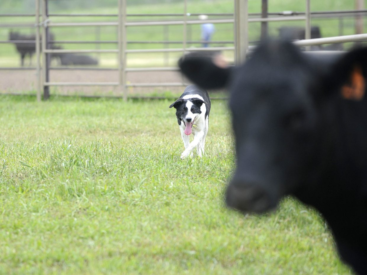 Bandit eyes cattle during the National Cattledog Association National Finals on Saturday at Flying Diamond Ranch.
