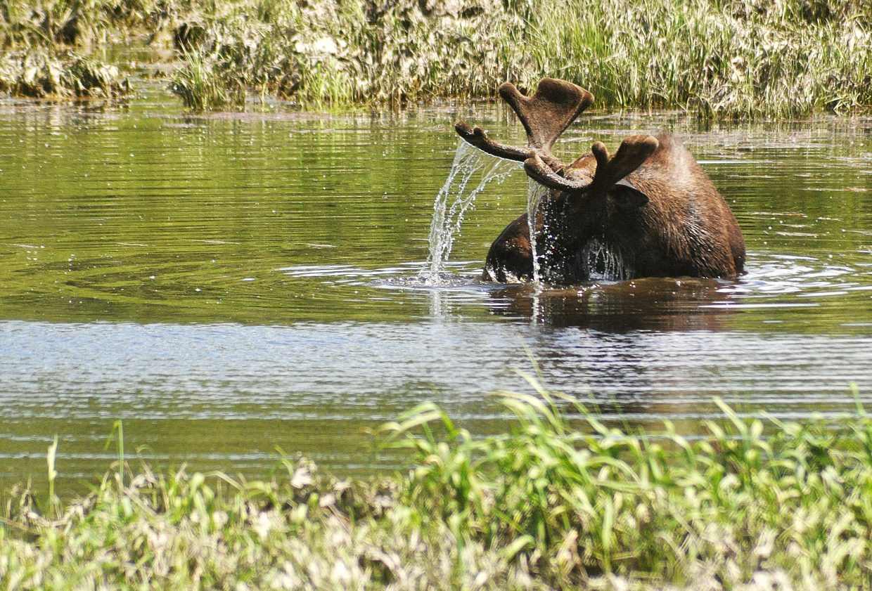 A bull moose searches for food at the bottom of a pond near the southern entrance of Steamboat Springs. The moose attracted a large crowd of spectators who noticed him swimming from U.S. Highway 40.