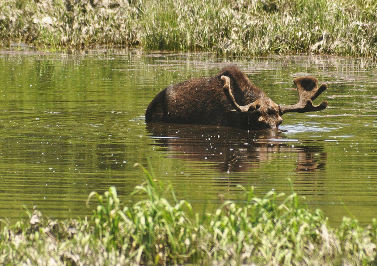 A large moose scans for food below the surface of the water near the southern entrance of Steamboat Springs. A large crowd gathered to watch the moose as he went for a swim.