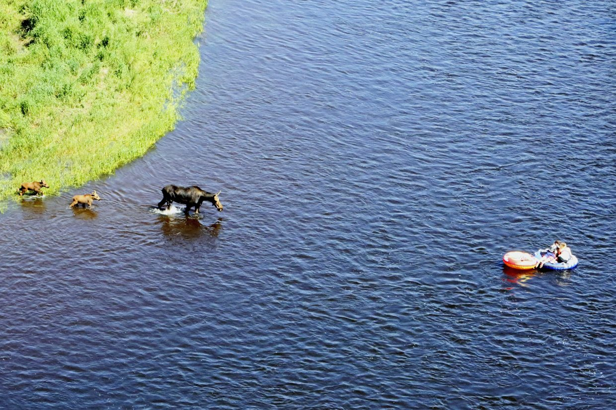 Steamboat Springs resident Bob Kearful captured this picture Friday of moose approaching two tubers on the Yampa River.