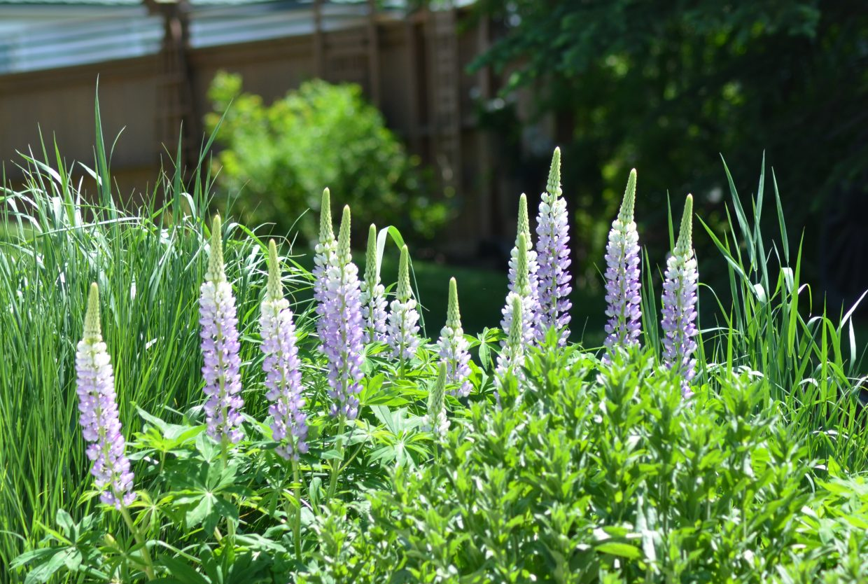 Jackie Grimaldi has been working on her garden, which includes these lupine flowers, since inheriting her downtown home from her mother 11 years ago.