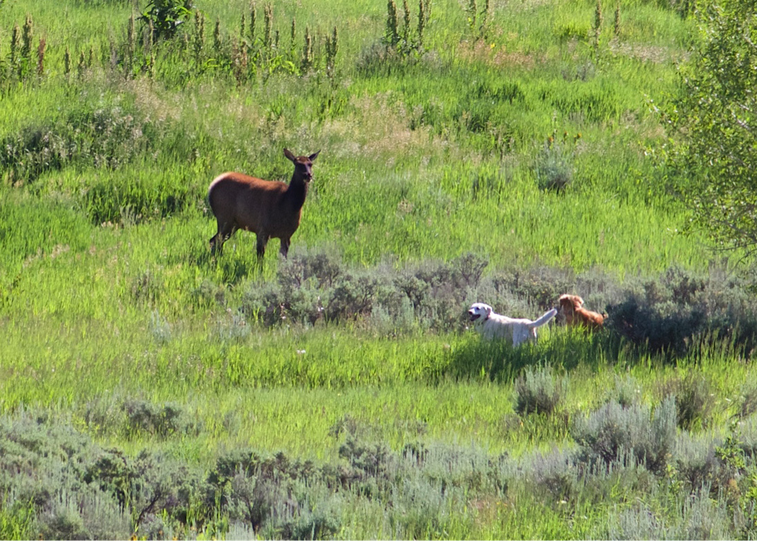 A cow elk confronts two dogs that have gotten too close to her and her calves in Rita Valentine Park. The elk was tranquilized Thursday and relocated to an area near the Flat Tops.