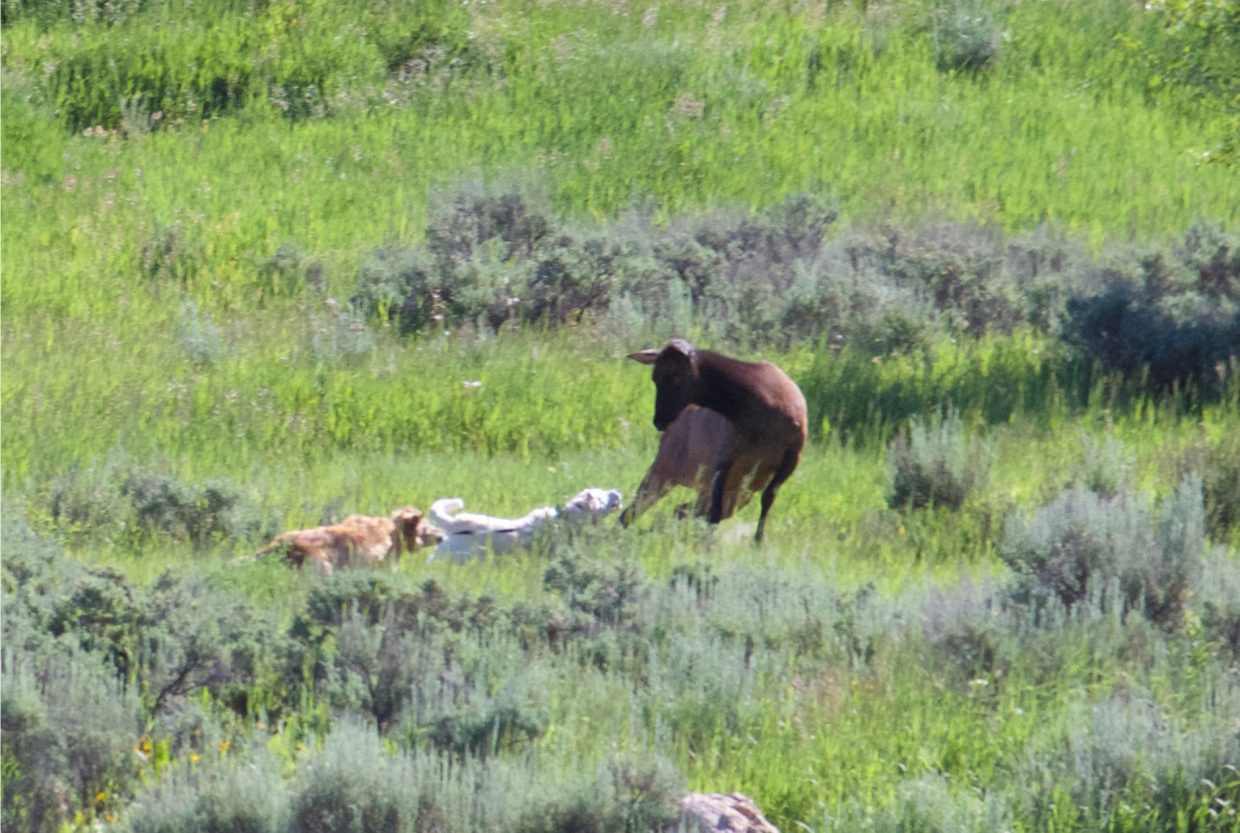 A cow elk fights with two dogs in Rita Valentine Park. The elk has been aggressively protecting her calves that she gave birth to in the park.