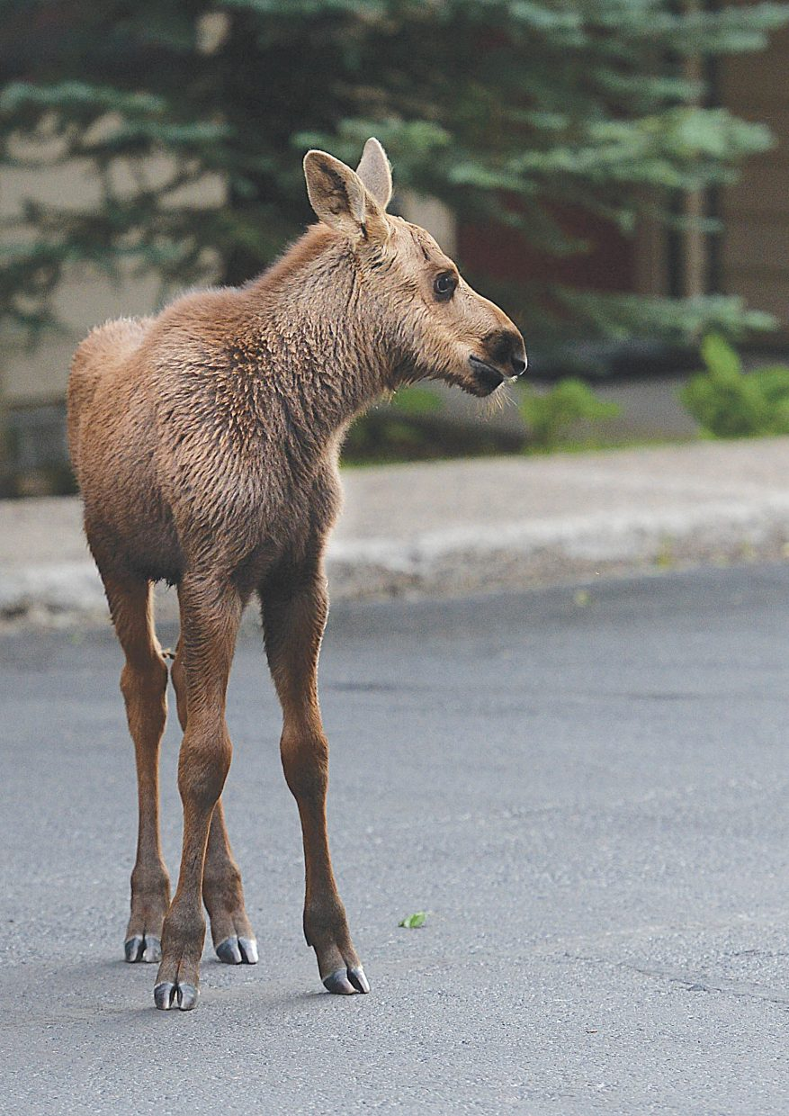 A moose calf stands outside an apartment building near Village Drive Wednesday evening. The moose, and it's mom have been spotted in the area numerous times the past few weeks, and even took a stroll through Central Park Plaza.