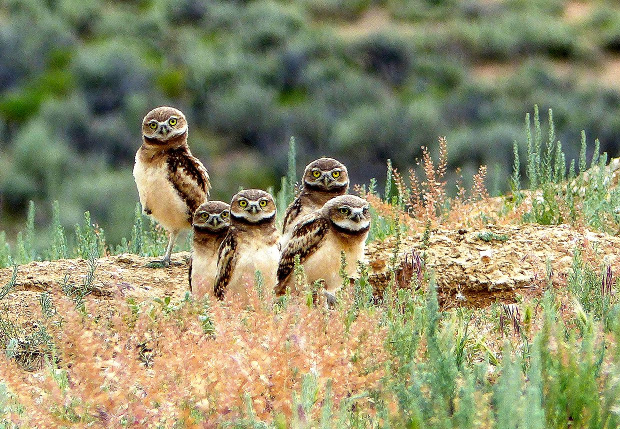 Burrowing Owls hang out at Sand Wash Basin. These adorable little guys are often found in the same vicinity of prairie dogs, as they use the excavated holes for their burrows. Unlike most owls they are active during the day.