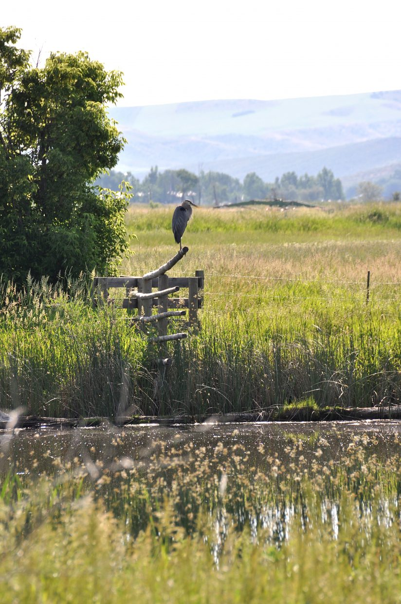 """Craig photographer Janele Husband caught a nice photo of a blue heron at Loudy-Simpson Park in Craig. """"The blue heron caught my eye as I was heading back into town, on the east side of the pond across the road from the main park,"""" Husband said of the photo."""
