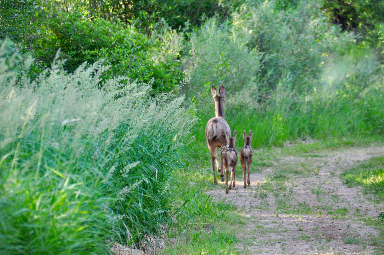 """Janele Husband took this picture of a deer with fawns. """"Caught these adorable 'dears' on the Kiwanis Trail at Loudy-Simpson Park this morning. When they turned to walk away from us, another twin appeared,"""" she said of the photo."""