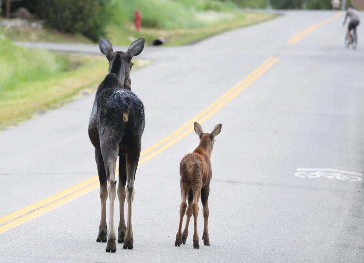 A momma and baby moose watch a biker as they cross Village Drive Wednesday evening. The moose and calf have drawn a lot of attention in the area making stops at Central Park Plaza and using the bike paths to make their way through neighborhoods in the base area.