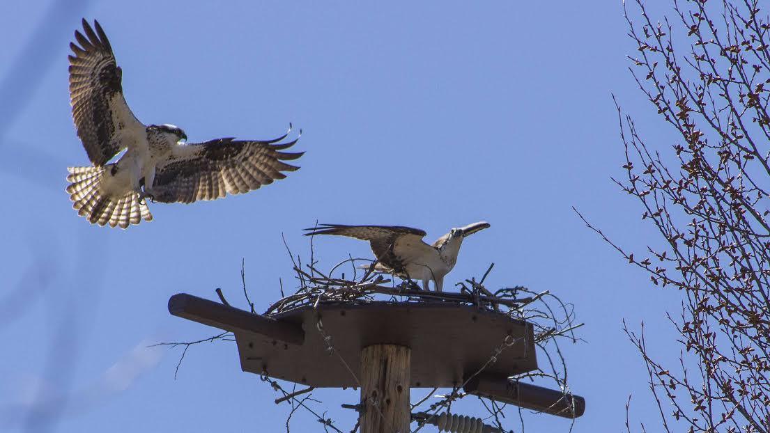 Photographer Jeff Morehead captured an image in early spring 2016 of a mating pair of osprey on a nest platform along the Yampa River in Steamboat Springs. The osprey failed to hatch chicks in 2017, but a pair of osprey returned to the nest this week.