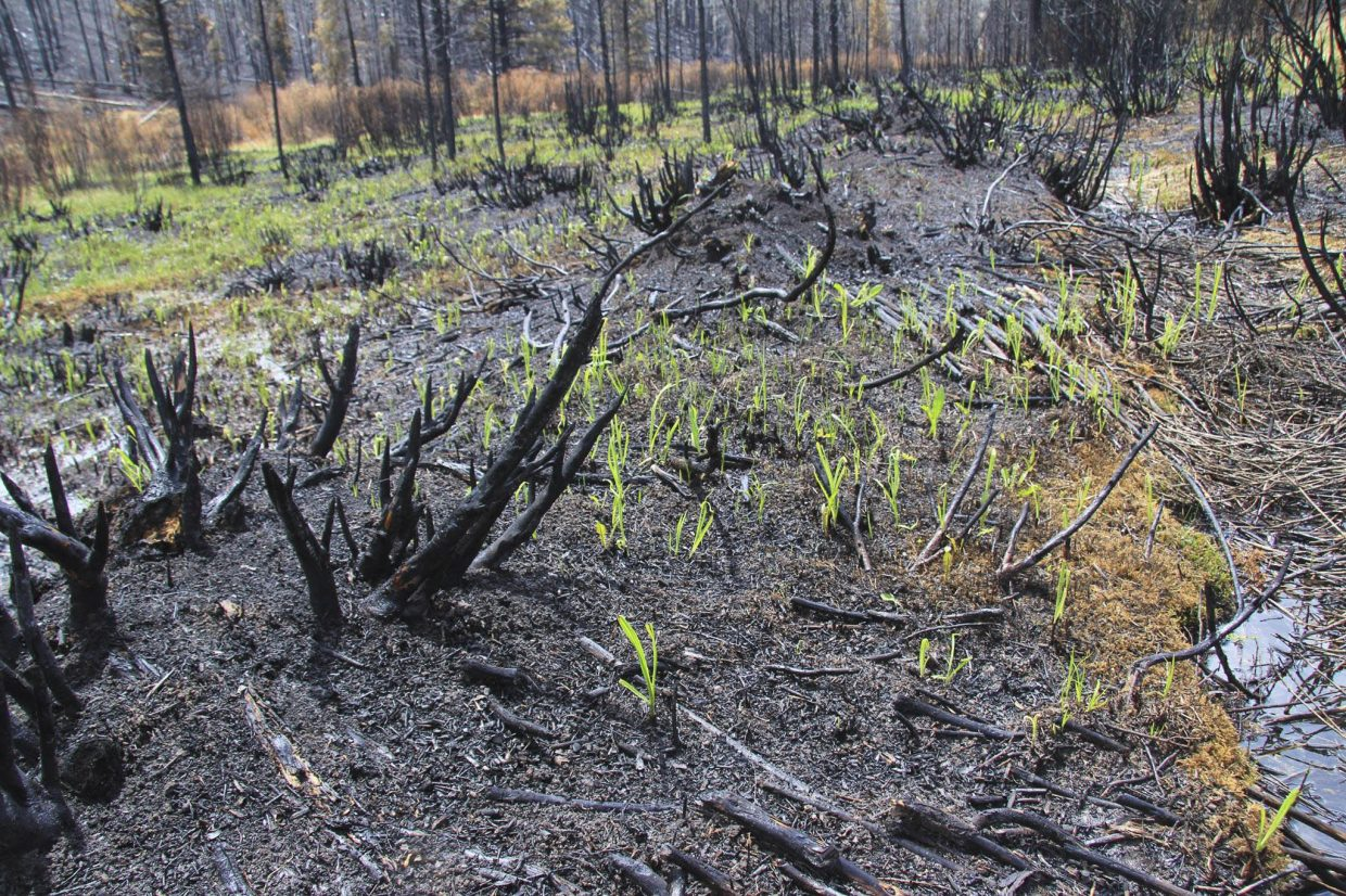 New shoots are growing within days after fire swept through the area on the ‪#Beaver Creek Fire‬.