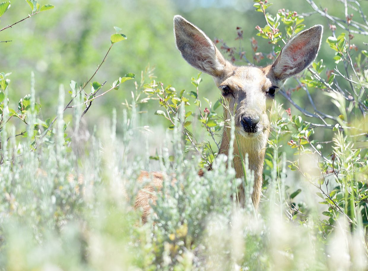 A deer pokes its head above the vegetation near Routt Street in Steamboat Springs on Monday afternoon. The deer was feeding on the bushes.