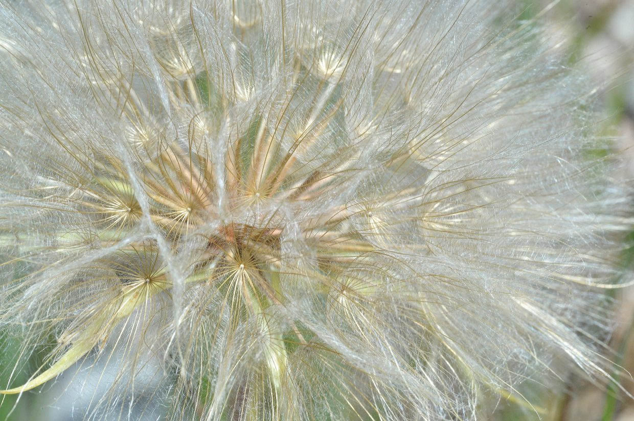 The seeds of this goat's beard puff ball in a field in Steamboat Springs look ready to take flight.