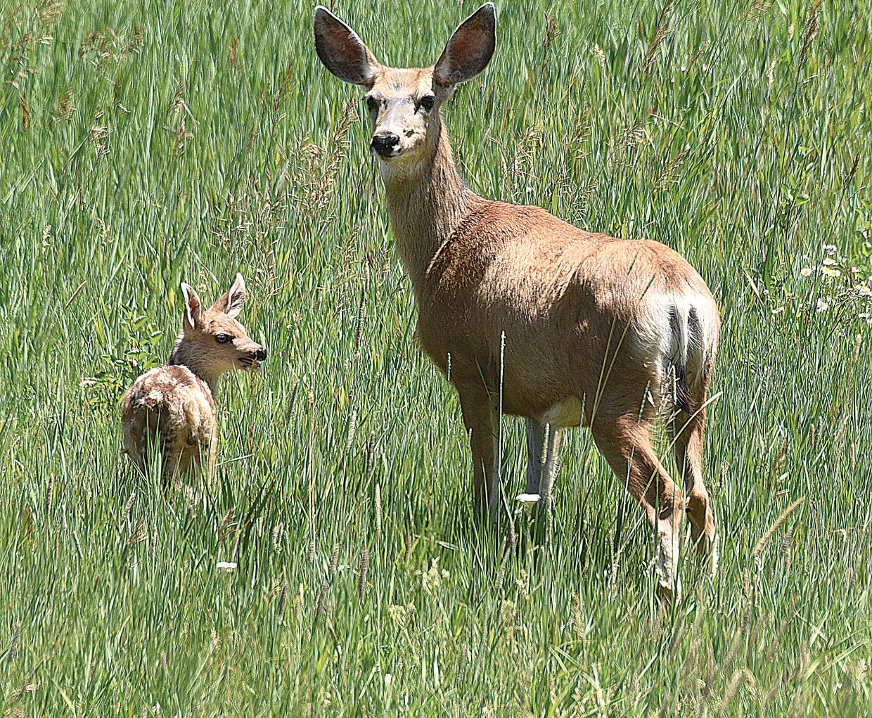 A deer and fawn hang out in a field near the Yampa Valley Medical Center on Thursday afternoon. The deer were waiting for another fawn before retreating to a safe spot away from traffic and the long lens of the photographer.