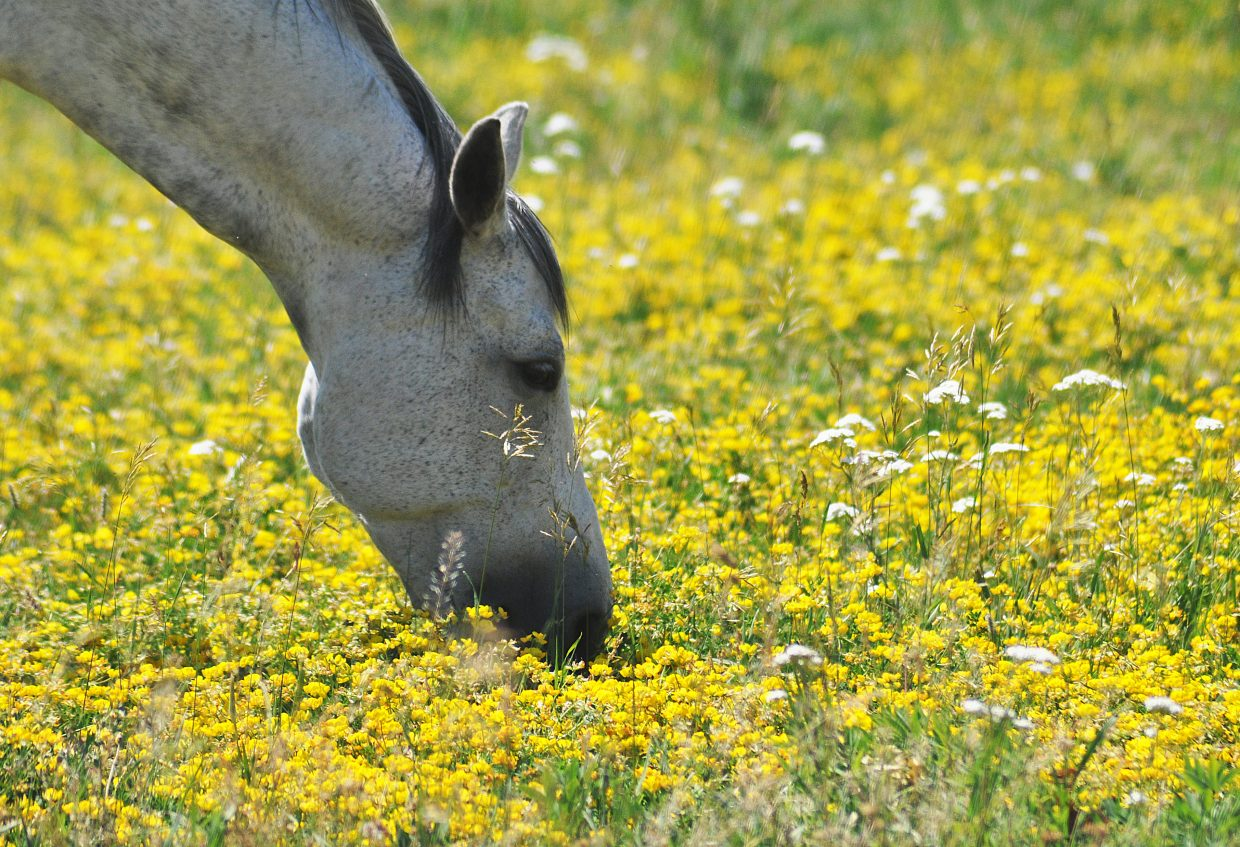 A horse grazes in a colorful field south of Steamboat Springs.