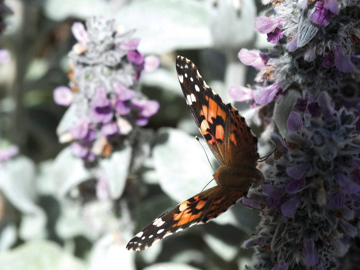 A butterfly spreads its wings in the warm mountain sun near Fish Creek on Monday.