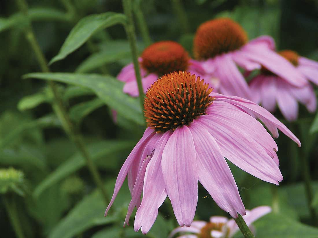 Coneflower (Echinacea purpurea) is a perennial varieties that can handle drought conditions.
