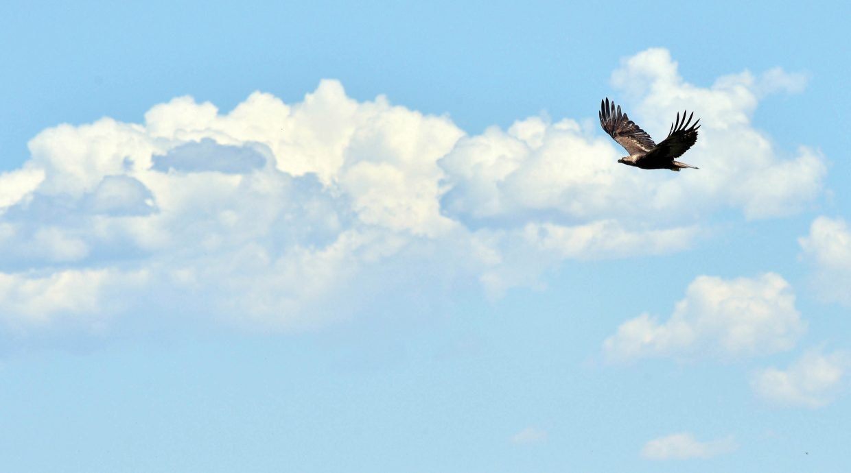 Clouds build in the background as a Golden Eagle takes flight near the base of Rabbit Ears Pass.