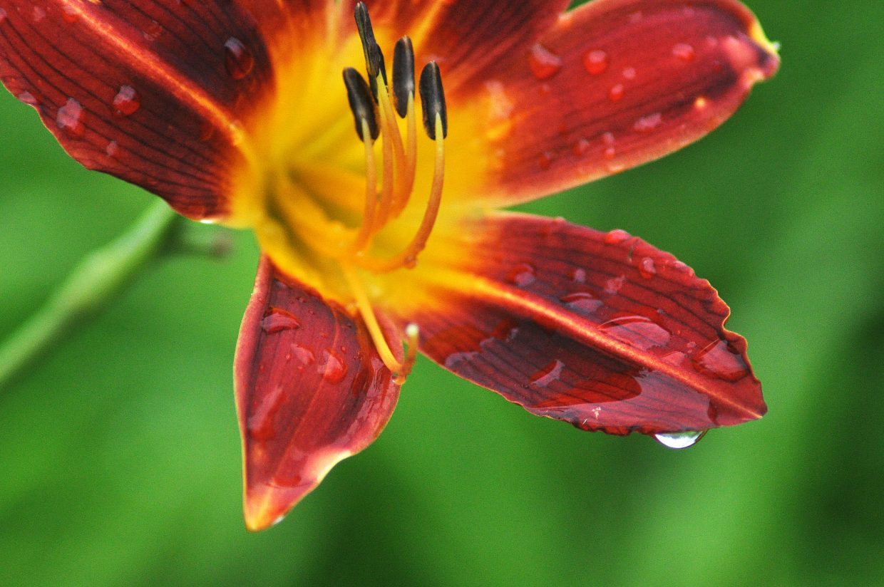 Raindrops cling to a flower petal Wednesday afternoon in the Yampa River Botanic Park.