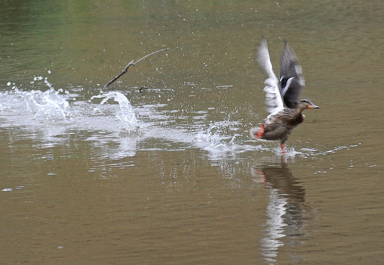 A duck makes a splash as it takes off from Stagecoach Reservoir on Tuesday afternoon.