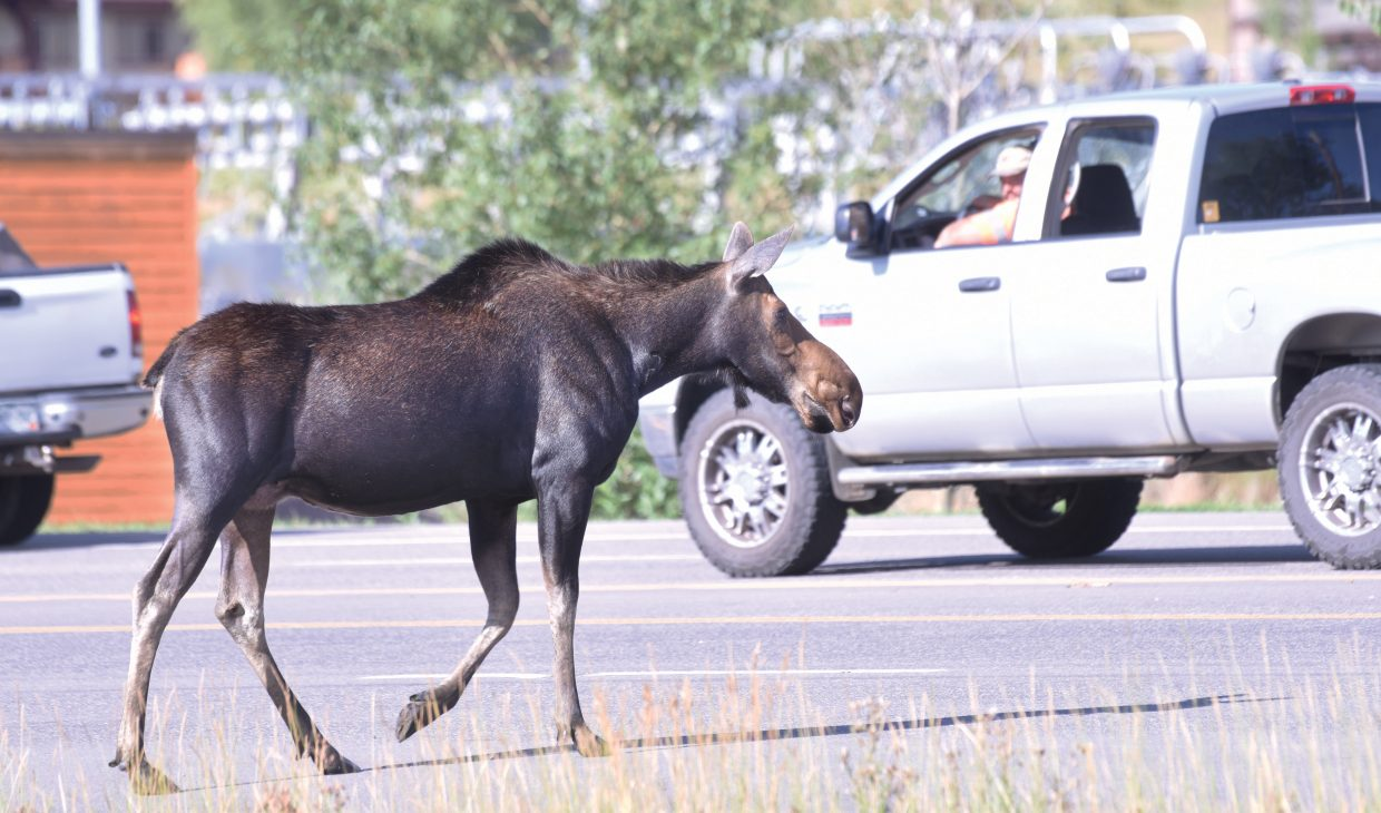 A moose stopped traffic as it made its way across U.S. Highway 40 Wednesday afternoon. The moose had been hanging out at a small pond located between River Creek Park and the highway.
