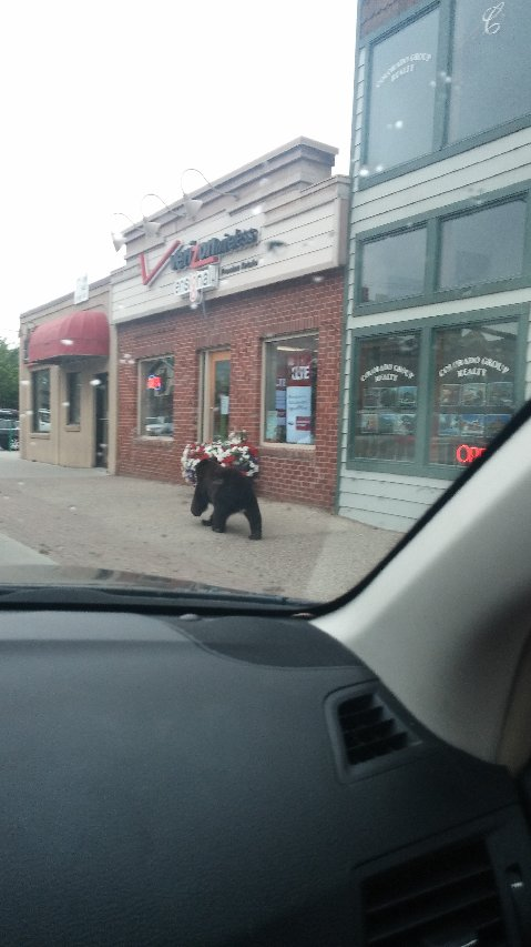 Bear shopping downtown. Taken by Noelle Cerone.