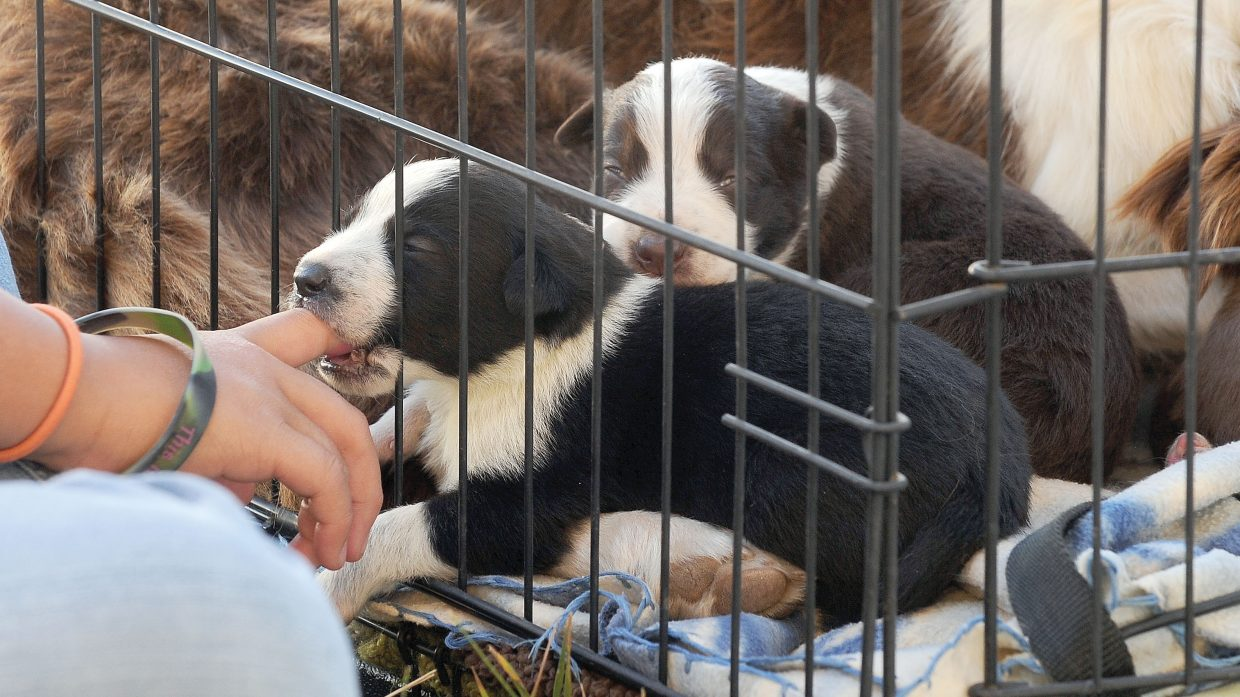 These puppies, just 2 weeks old, were not quite ready for the Routt County Fair dog show Tuesday morning, but their mother, Carly, competed along with owner Jewel Vreeman. Vreeman would only keep Mom away long enough to show, and then rushed Mom back to the kennel to be with the pups.