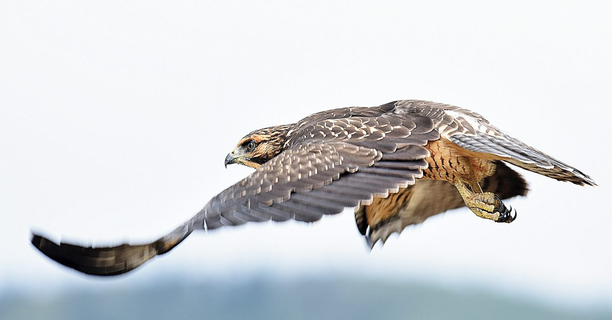 A hawk takes flight just north of Steamboat Springs Wednesday afternoon. The birds can be found near and circling above freshly cut hay fields in the Yampa Valley looking for something to eat.