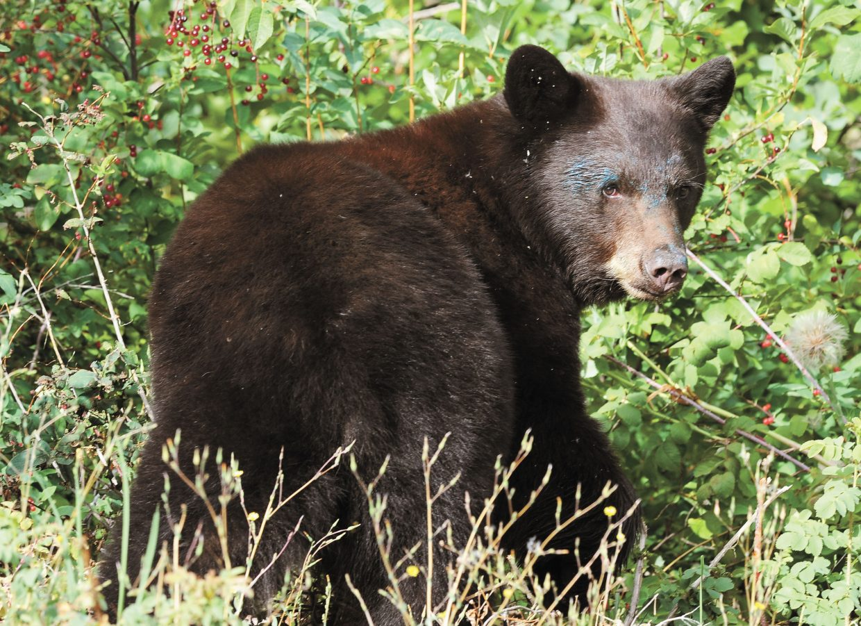 A hungry bear wasn't happy to have his breakfast interrupted by a photo opportunity Wednesday morning. It seemed that he had found the perfect place to dine at the corner of 12th and Oak streets — at least before the paparazzi arrived.