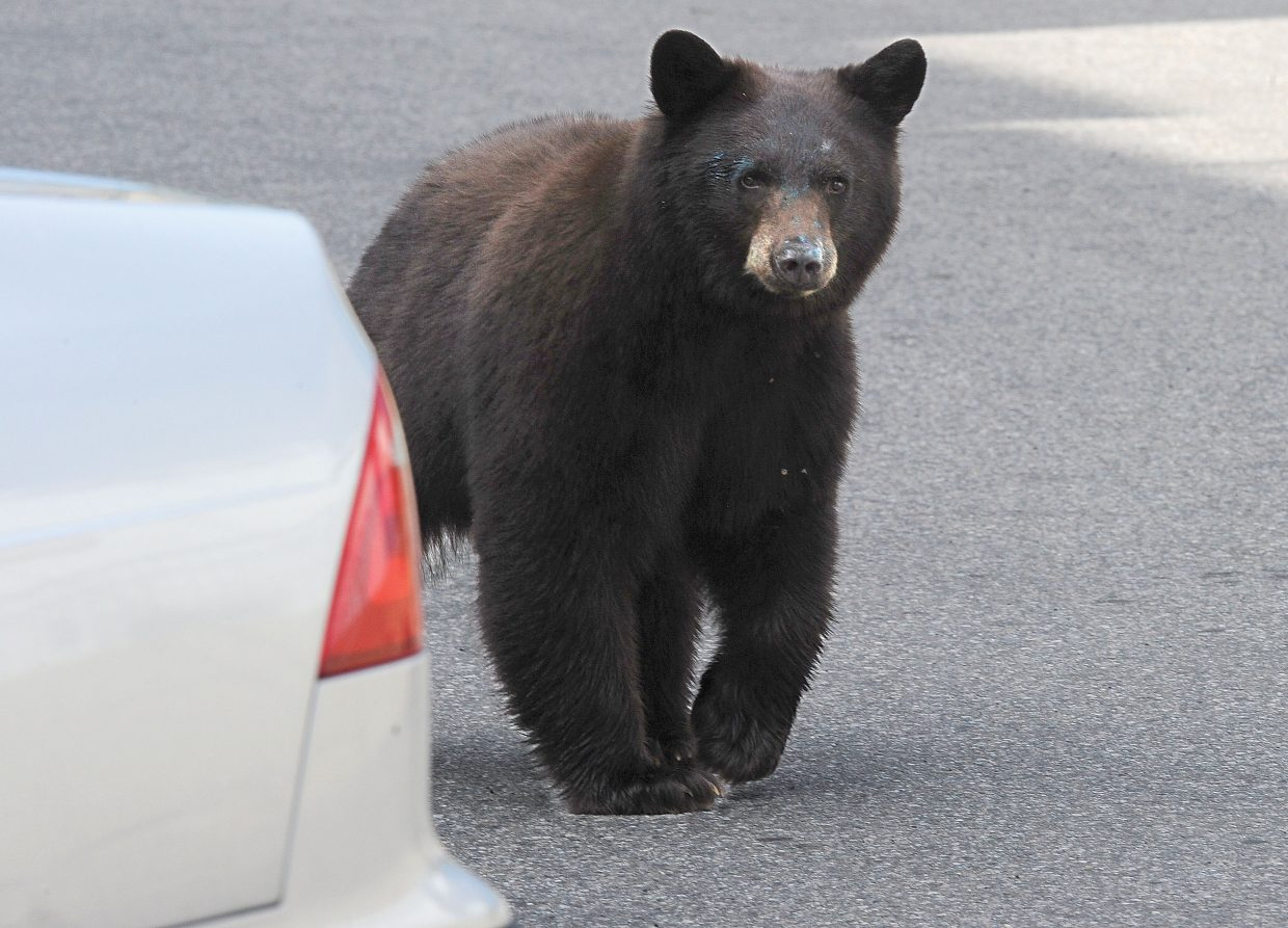 A bear makes his way between the cars in the Old West building parking lot Wednesday morning in downtown Steamboat Springs.