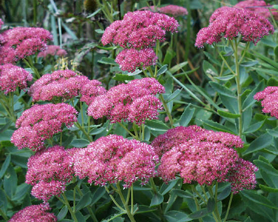 Sedums are relatively inexpensive, they grow and thrive in our often harsh climate and they are readily available from local nurseries.