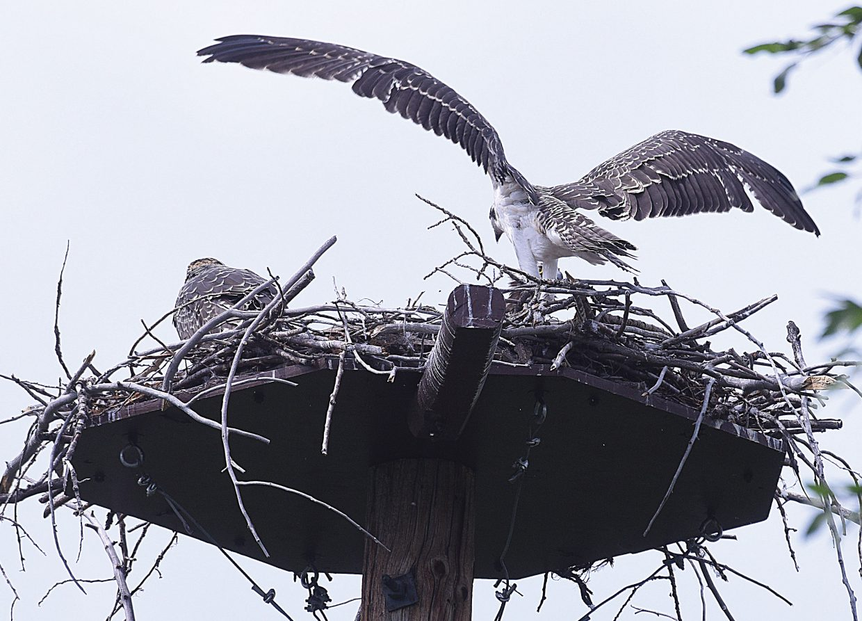 An osprey chick spread its wings Wednesday afternoon, while waiting for an adult bird to return to the nest with something to eat. The young birds, which have been at home in the nest located near the Yampa River Botanic Park, look as if they are just about ready to take flight.