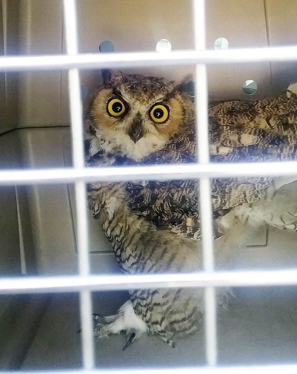 Hayden Animal Control officer Meredith Murray and Hayden Police Chief Greg Tuliszewski rescued an owl Tuesday that injured itself after flying into the Routt County Fairgrounds grandstand.
