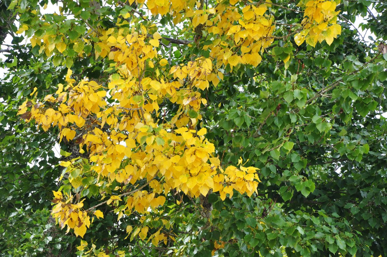 Leaves on a tree near downtown Steamboat Springs already are transitioning to their autumn colors. In another sign that summer is fleeting, the Mount Zirkel WIlderness Area and other high peaks near Steamboat could receive some snow Saturday night.