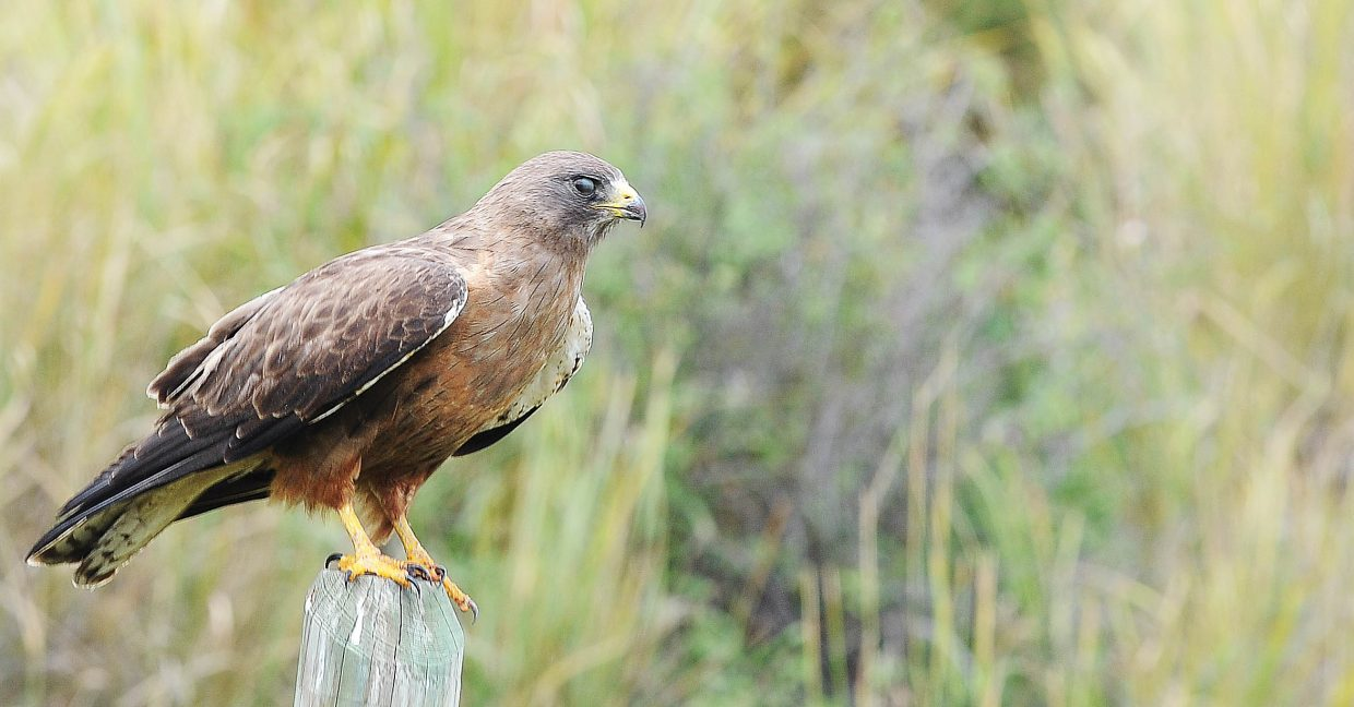 A hawk sits on a fence post along Routt County Road 44 on Friday afternoon.