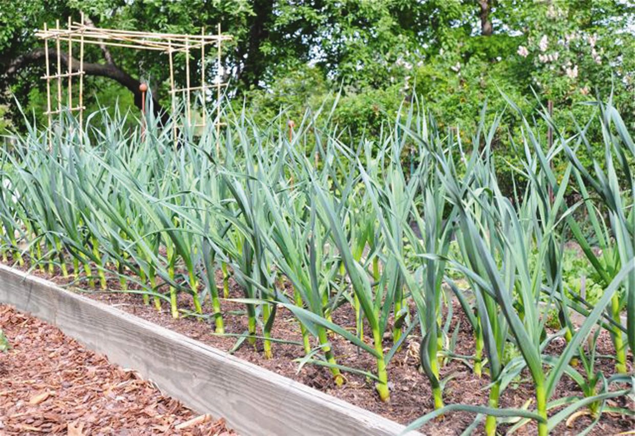 To obtain the largest bulbs next summer, plant your garlic cloves now this fall. Set them into the ground about an inch deep and about three inches apart in an upright position and water well.