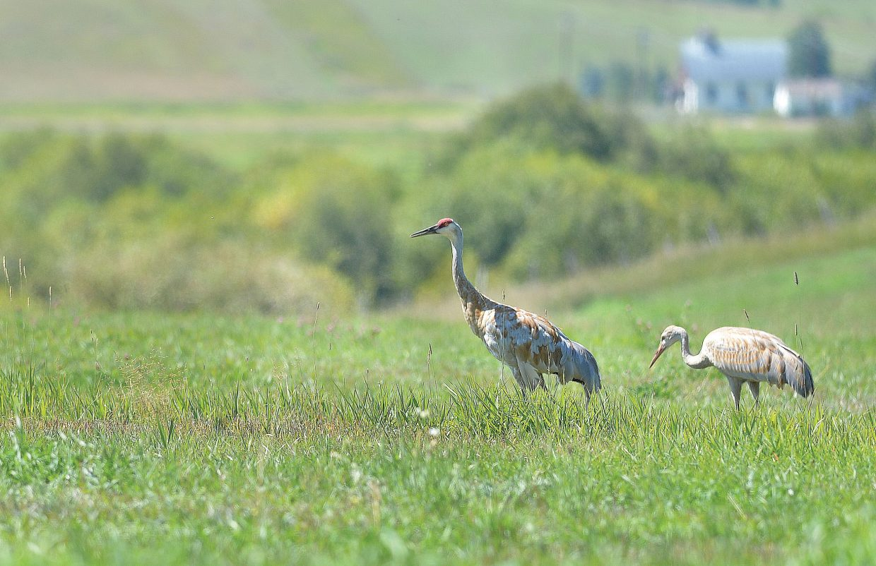 Cranes look for food in a pasture southeast of Steamboat Springs on Tuesday afternoon.