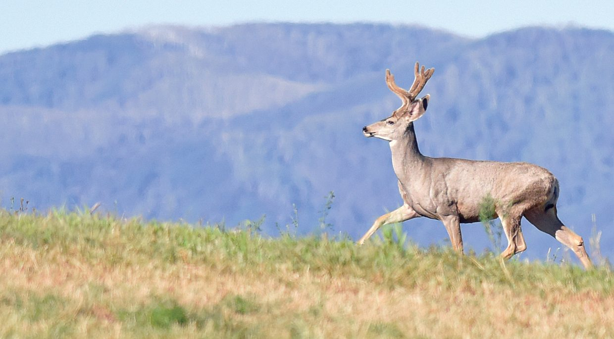 A buck heads up a hill in a pasture just outside of Steamboat Springs Wednesday morning. The deer was feeding in a freshly cut field nearby.