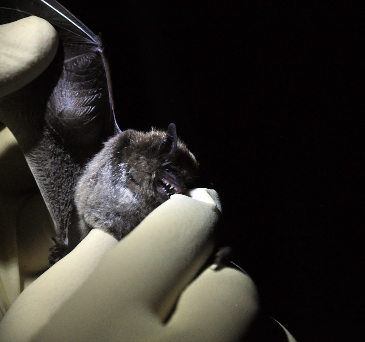 A bat shows off its sharp teeth while being held by researcher Justin Unrein at the Rehder Ranch. The nocturnal research here in Steamboat Springs could help wildlife managers better prepare for the arrival of white-nose syndrome.