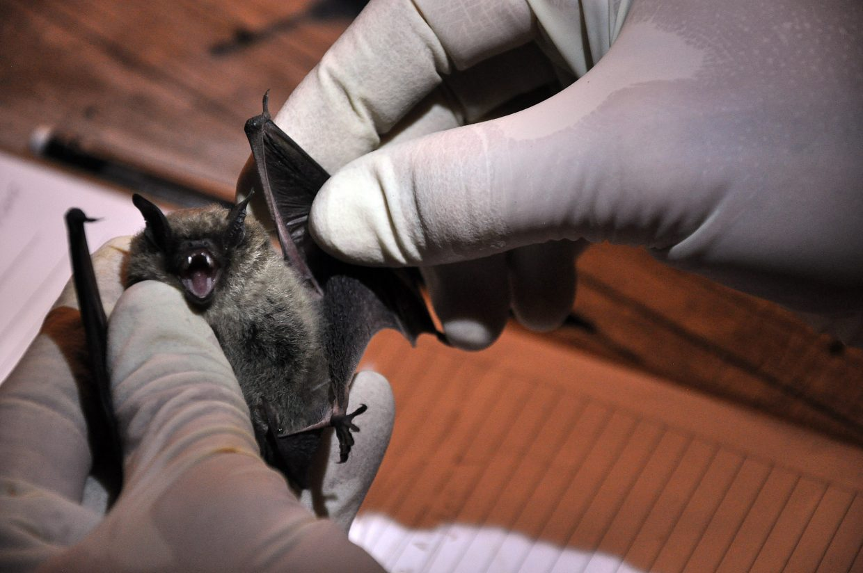 Colorado Natural Heritage Program researcher Rob Schorr prepares to weigh a little brown bat at the Rehder Ranch. The researchers caught and tagged dozens of bats throughout two nights on the ranch.