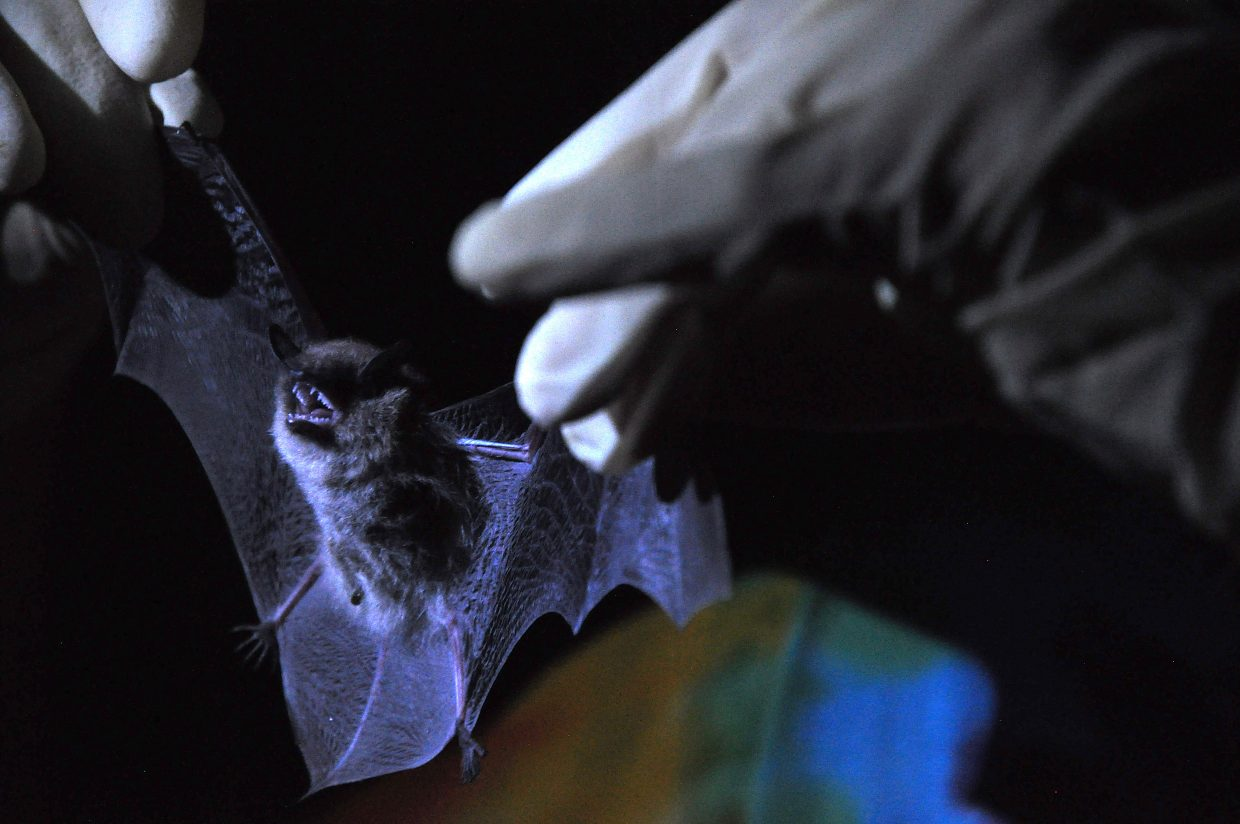Researcher Carli Baum holds a bat after plucking it from a trap at the Rehder Ranch. The houses near Lake Catamount are a popular place for bats to live because of the nearby water source and the abundance of insects.