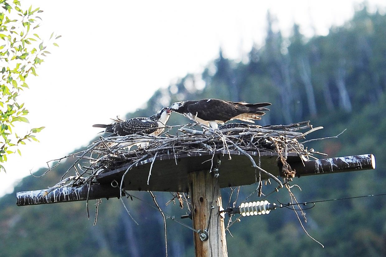 Though the juvenile ospreys at the nesting platform near Yampa River Botanic Park in Steamboat Springs have been observed successfully fishing, their mother (right) is still feeding them too. Soon, the three offspring of the year will have to fend for themselves during a long migration to Central or South South America.