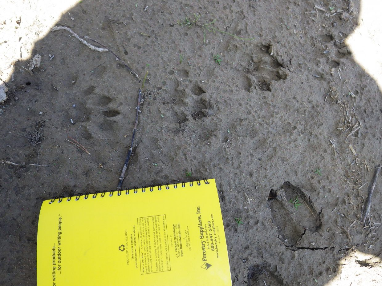 River otter tracks cover sand near the banks of the Yampa River in Northwest Colorado. Biologists with Colorado Parks and WIldlife did not see any otters on a recent survey of them in Dinosaur National Monument, but found plenty of evidence they were frequenting the area.