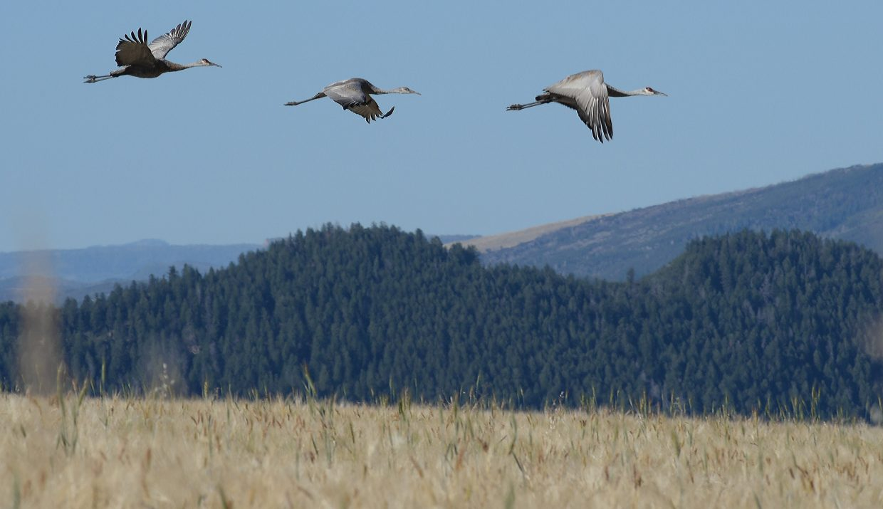 Cranes take flight from a field on the western edge of Steamboat Springs in September 2015.