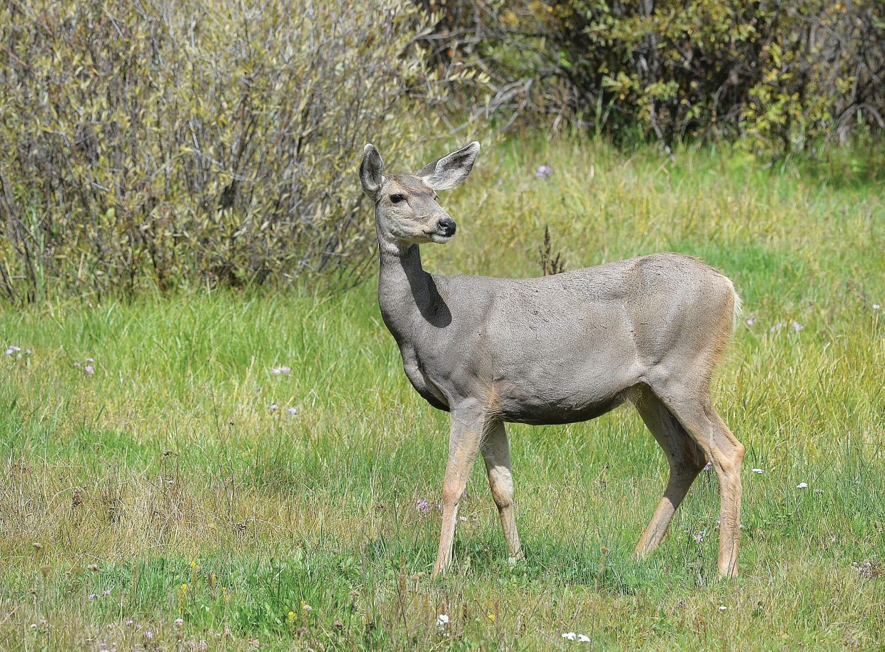 A deer watches as a person walking a dog passes by on a dirt road near the pasture it was grazing in at the Perry-Mansfield Performing Arts School and Camp campus.