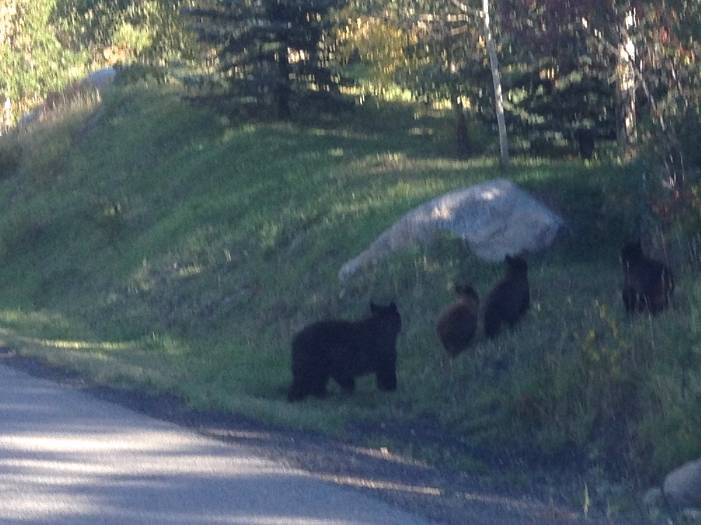 Bear and three cubs, Steamboat Boulevard near Golf View Way, Sept. 18, 2014, 5:30 p.m. Submitted by: Harry Lambart