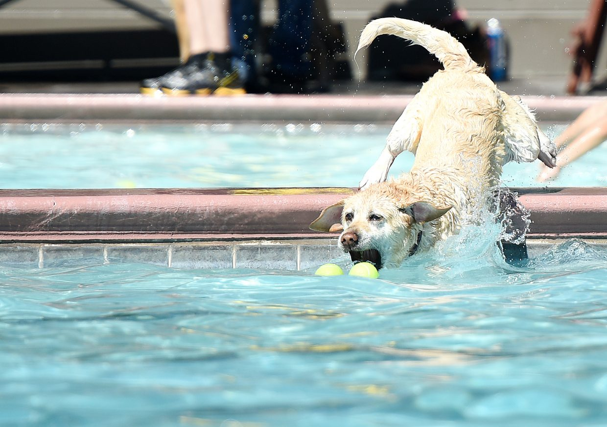 He's all in: Wesson, an English golden retriever, dives into the pool at Old Town Hot Springs chasing a pair of tennis balls. Dogs dominated the downtown facility Sunday during the annual Poochy Paddle event.