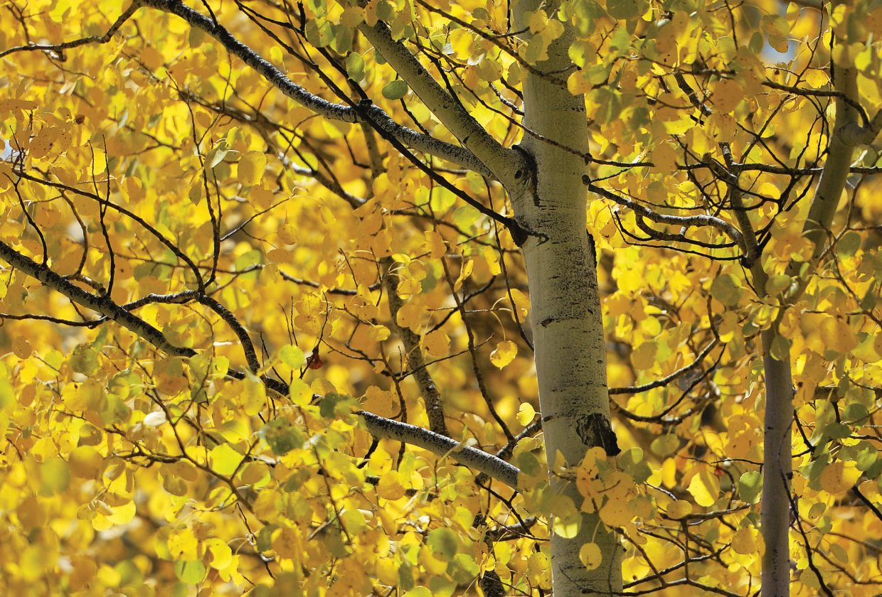 The golden leaves of an aspen tree near Hahn's Peak remind us all that autumn has arrived in the Yampa Valley.
