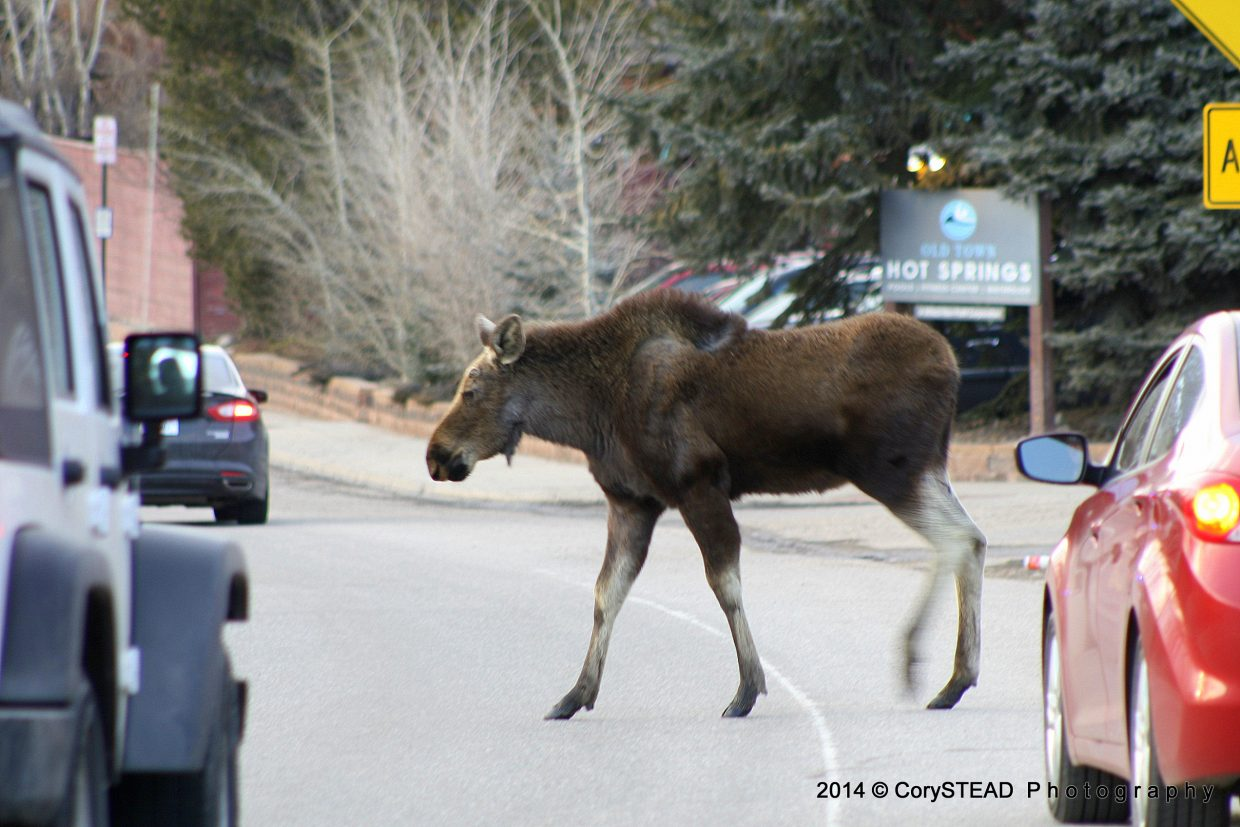 Monday's moose traffic jam near Old Town Hot Springs. Submitted by: Cory Stead