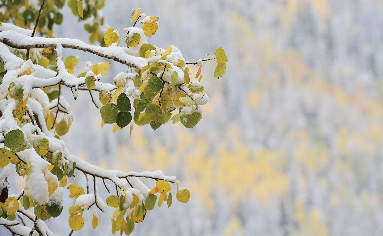 Snow rests on the branches of an aspen tree on top of Rabbit Ears Pass. Several inches of fresh snow fell in the area Wednesday morning, making for a clash of seasons in parts of Routt County.