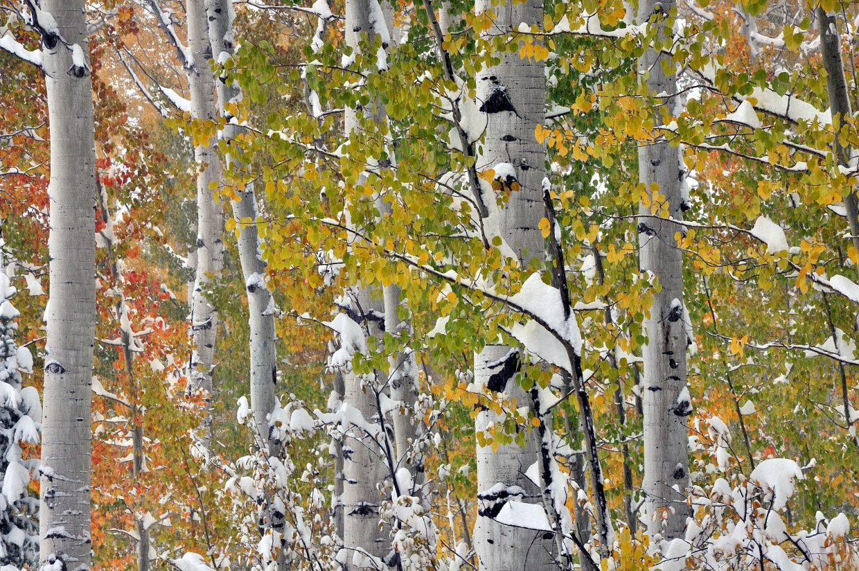 Heavy snow clings to Aspen trees still showing off their vibrant fall colors Friday morning in Steamboat Springs.